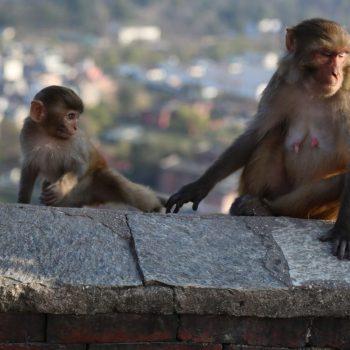 Катманду, Обезьяны в храме