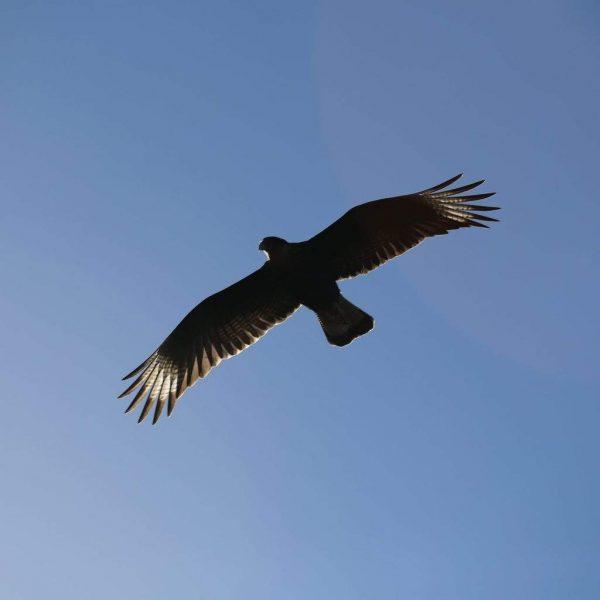Птица над каньоном в Перу