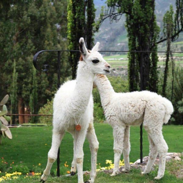 Животные Колка-Каньон-Перу