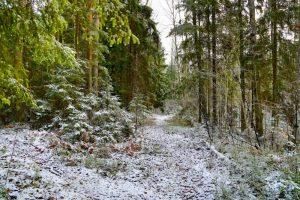 Латвия, лес зимой