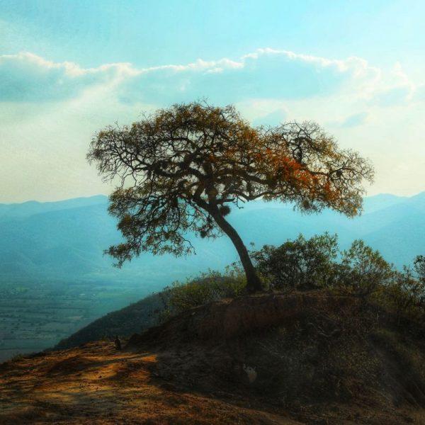 Дерево Боливии