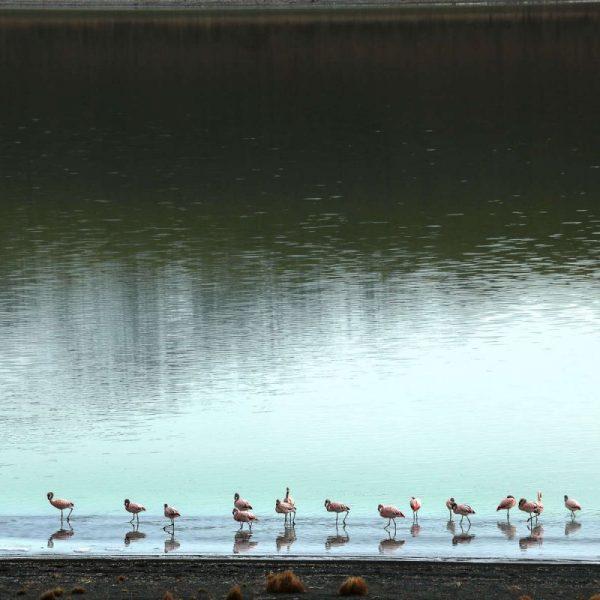 Природа, розовые фламинго