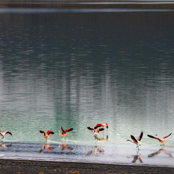 Природа, фауна, фламинго