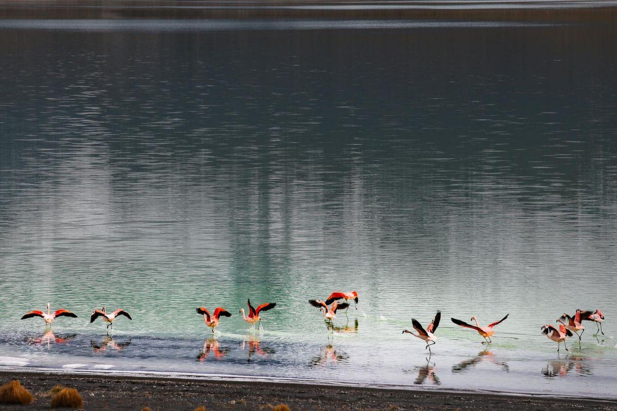 Фламинго в Чили