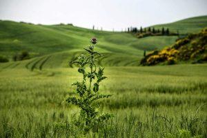Тоскана поля, репейник
