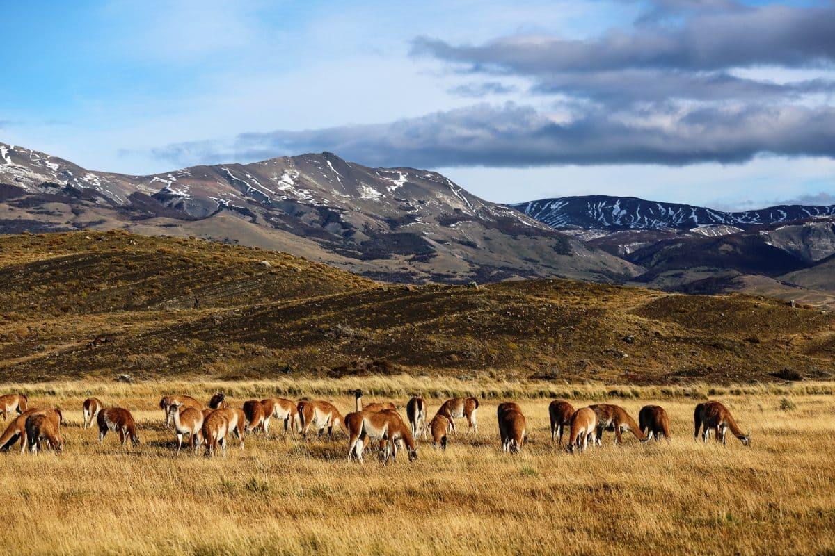 Альпаки пасутся в Патагонии