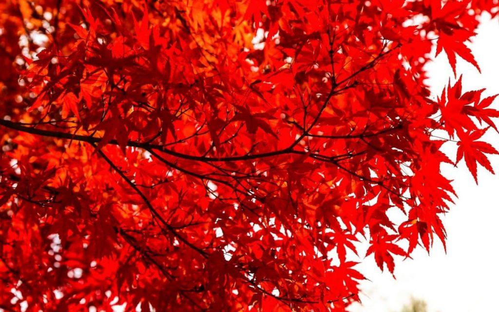 Япония, осенний клён
