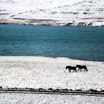 Лошади, берег Исландии