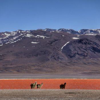 Лагуна Колорадо и альпаки