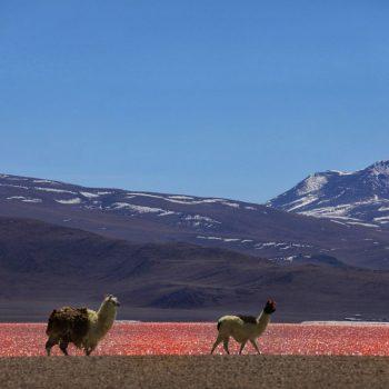 Боливия красная долина и альпаки