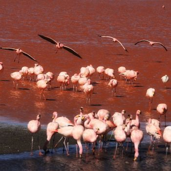 Фламинго в долине Колорадо, Боливия