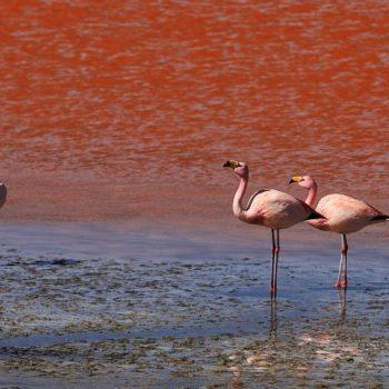 Фламинго на красном озере, Боливия