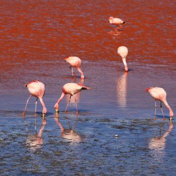 Лагуна Колорадо и фламинго