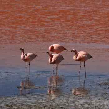 Фламинго и лагуна Колорадо