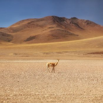 Детёныш альпаки в Боливии