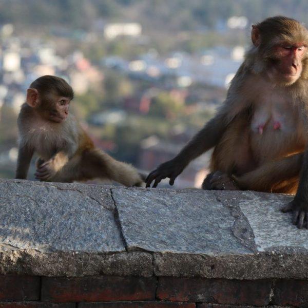 обезьяны в катманду, непал
