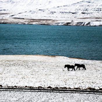 Лошади, Исландия