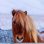 Лошадь в Исландии зимой
