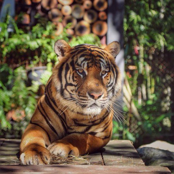 дружелюбный тигр тайланд