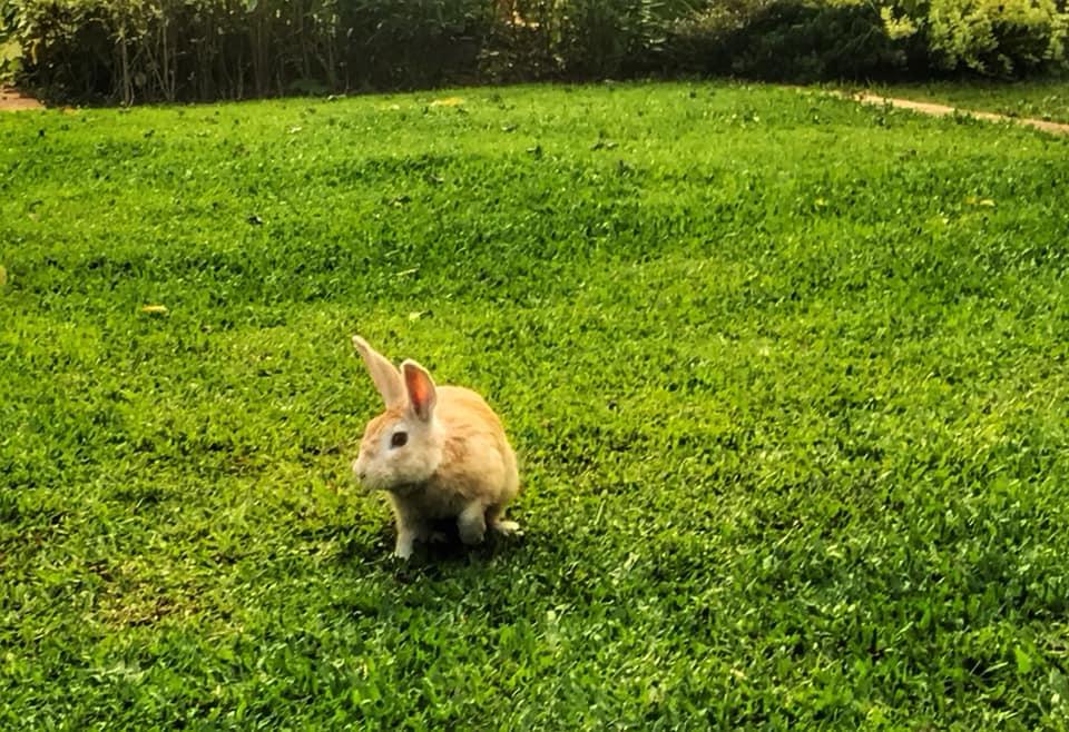 заяц в лаосе