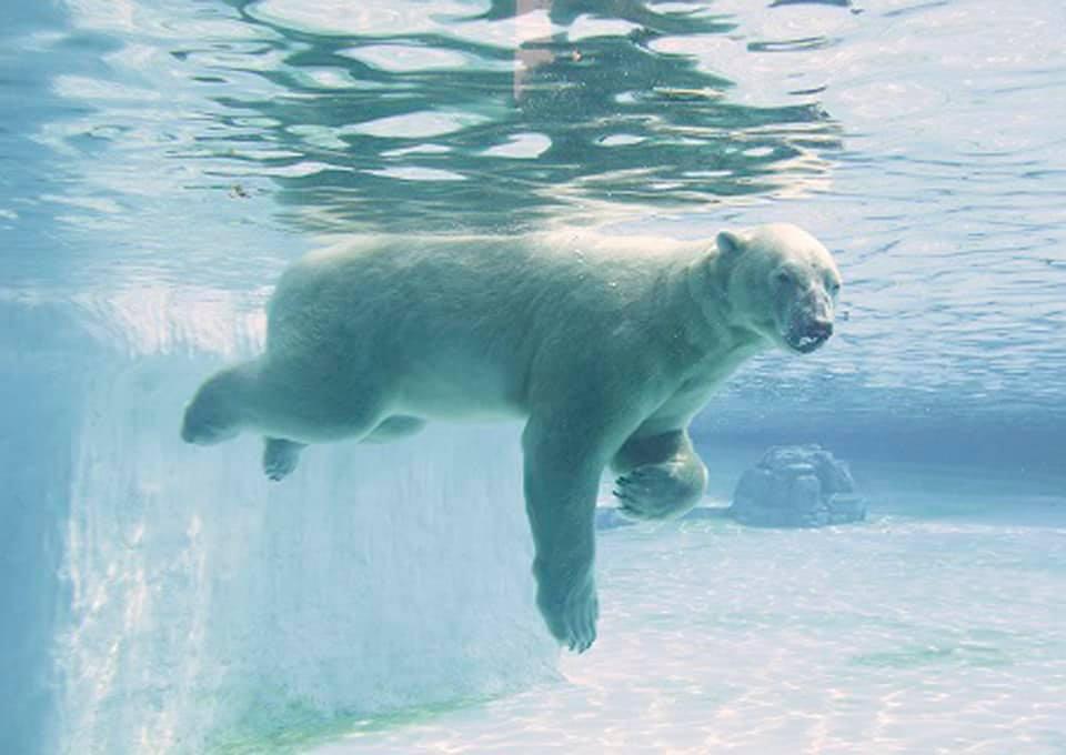 полярный медведь в Сингапуре