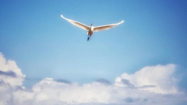 птица гватемала