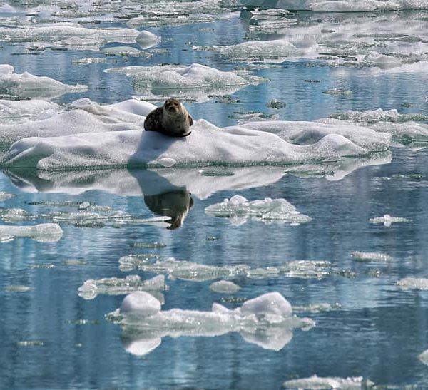 Тюлень в ледниках
