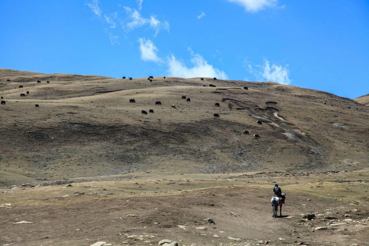 Путешествие в Мустанг. Пастух рядом со стадом яков