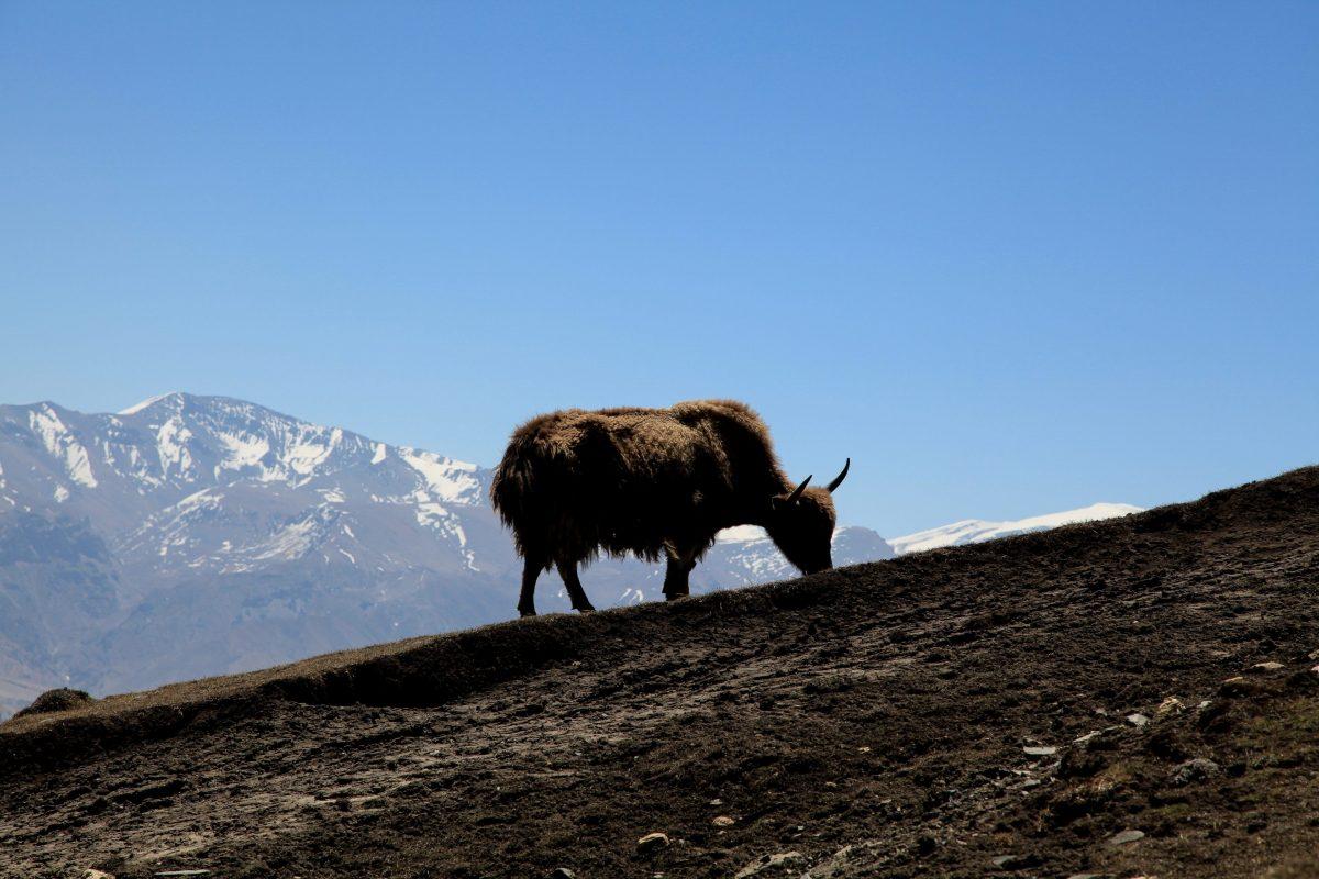 Путешествие в Мустанг. Як пасется на холме на фоне гор