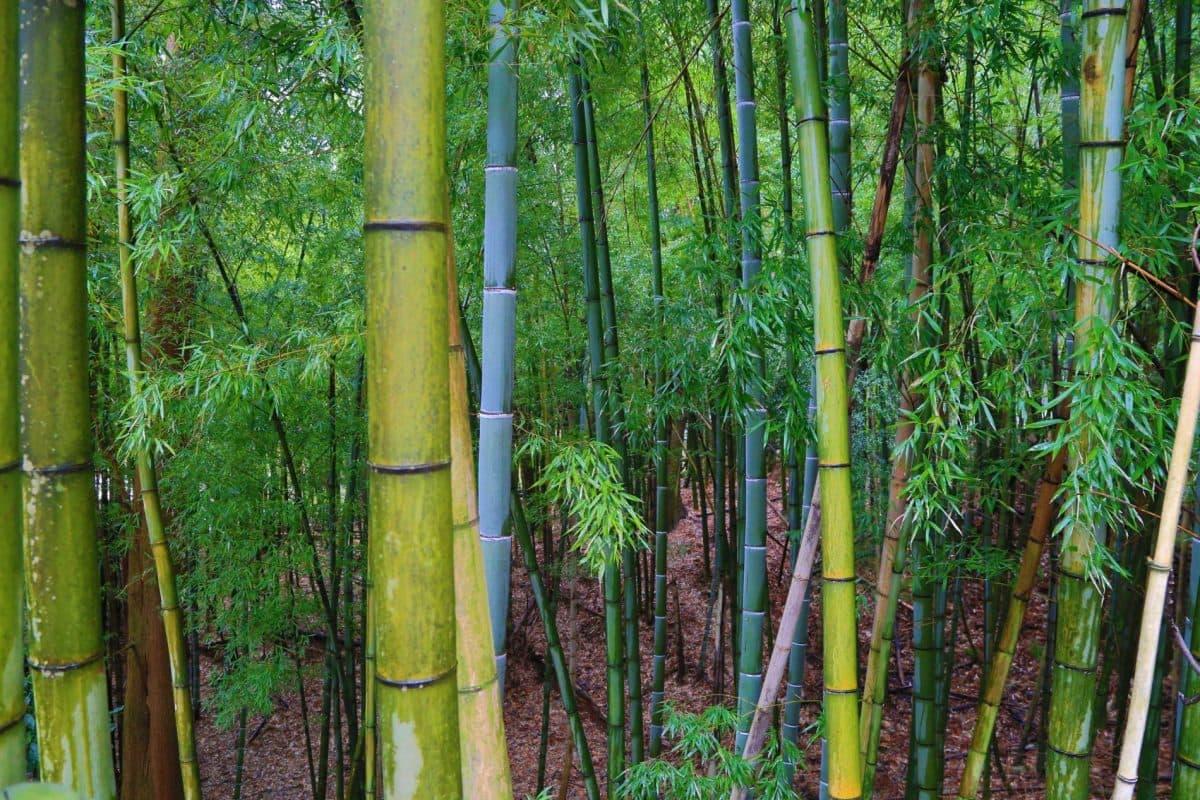 Путешествие по Японии весной. Бамбуковый лес в Хаконе