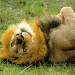 Сказка о веселом игривом льве, Елена Павличенко