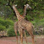 Жирафы, детские сказки